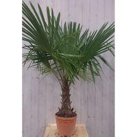 Winterharde Palmboom stamhoogte 30 cm en hoogte 150 cm Warentuin